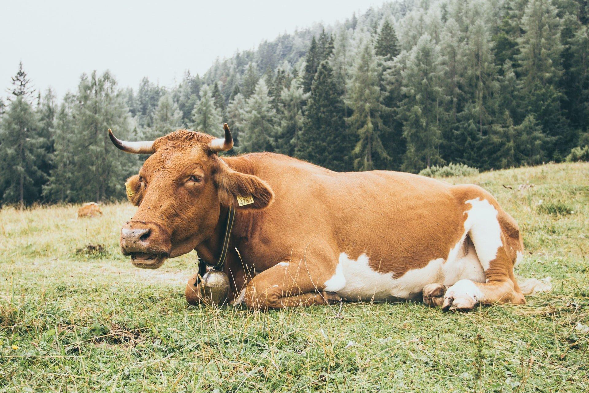 cow in Triglav national park in Slovenia